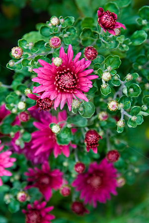 Purple chrysanthemum stock photo, Purple chrysanthemum in the top view by Tatsiana Amelina