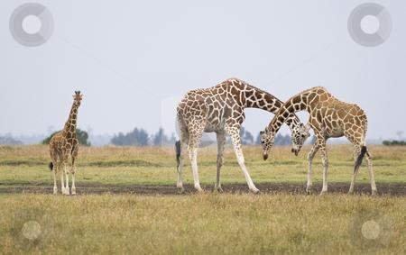 Giraffes stock photo, Three giraffes, Giraffa camelopardalis reticulata, Republic of Kenya, Eastern Africa by mdphot