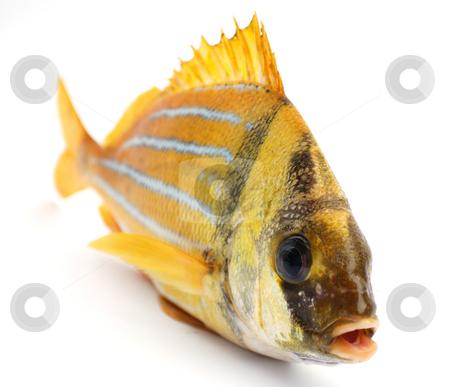 Gold fresh fish stock photo, Gold fresh fish on a white background by Nataliya Taratunina
