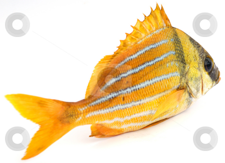 Gold fish stock photo, Gold fresh fish on a white background by Nataliya Taratunina