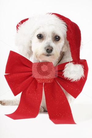 Puppy for Christmas stock photo, How much is that doggy in the window.....  Maltese terrier with a big red ribbon and red hat. by Leah-Anne Thompson