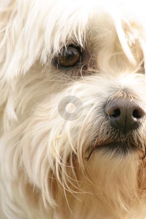 Maltese Terrier stock photo, A scruffy maltese terrier by Leah-Anne Thompson
