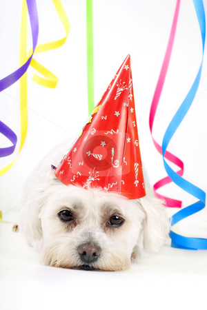 Party Animal stock photo, Small white dog with a party hat amongst colourful streamers. by Leah-Anne Thompson