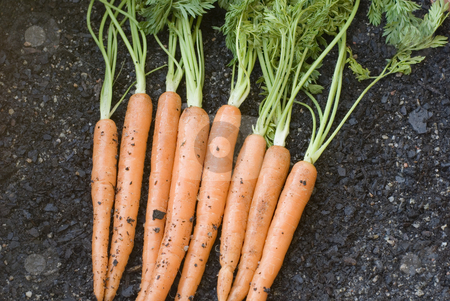 Fresh Carrot Harvest stock photo, A bunch of carrots just dug out of the ground by Stephen Gibson