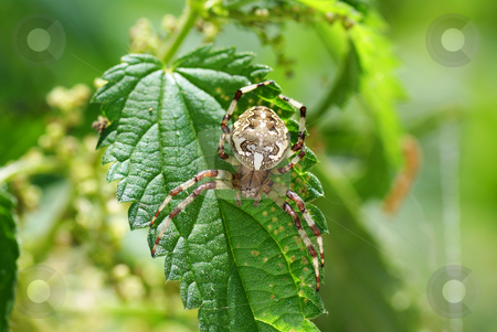 Spider stock photo, Big  frightening spider on the green leaf by Jolanta Dabrowska