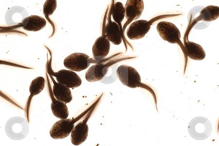 Tadpole stock photo, Macro tadpole in water on white background by Jolanta Dabrowska