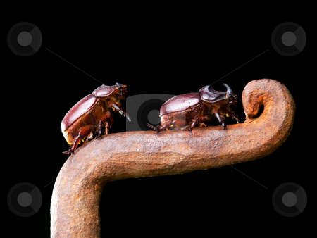 Horn beetles stock photo, Closeup view of two horn beetles during climbing on a rusty metal fence. by Sinisa Botas