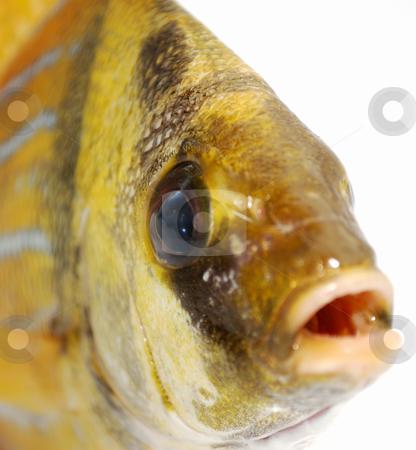Gold fish stock photo, Head of fresh gold fish by Nataliya Taratunina
