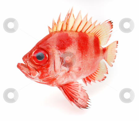 Red fish stock photo, Red fish on a white background by Nataliya Taratunina