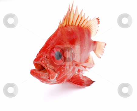 Red fish stock photo, Red fish on white background by Nataliya Taratunina