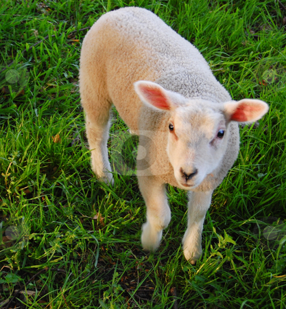 This is a cute young sheep ! stock photo, What a cute young sheep by Jose Eduardo Valle