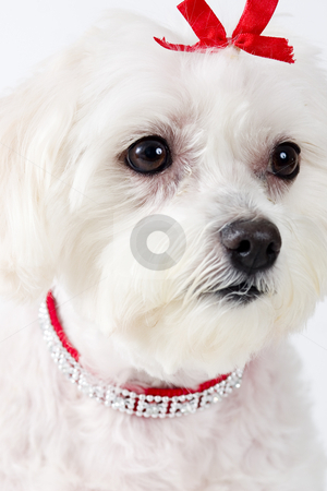 Maltese Terrier Face stock photo, Portrait of an attentive white Maltese Terrier. by Leah-Anne Thompson