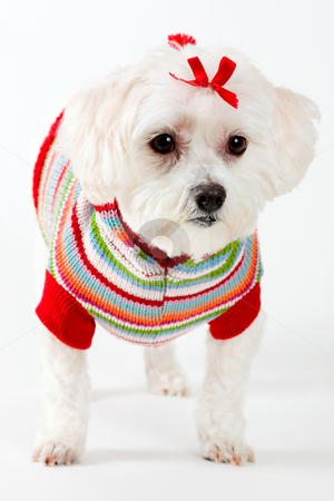 Maltese terrier wearing knitted jumper stock photo, It is believed that these dogs existed and were highly valued as far back as 3500 BC. During the first century AD they were known as 'The Roman Ladies Dogs' and were used in paintings and poems.  The Maltese has been protected and spoilt for centuries. They are said to be one of the oldest European breeds and during the time of Henry VIII they were immediate favourites of the English Court. by Leah-Anne Thompson