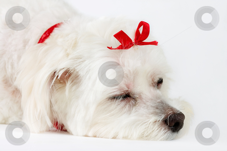 Dogs Life stock photo, This photo shows a tired or sleepy dog on a white background.  Focus on face. by Leah-Anne Thompson