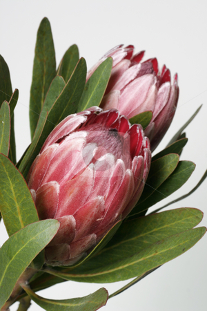 Protea stock photo, Also known as bearded sugarbushes.  The flower is surrounded by colourful velvety bracts which slowly open up by Leah-Anne Thompson