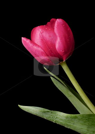 Tulip Spring Dew stock photo, A red tulip with beads of water on petals, stem and leaves against a dark background by Leah-Anne Thompson