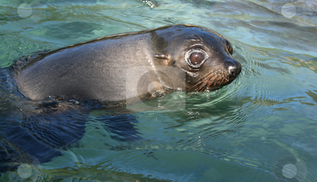 Seal stock photo, A young seal swimming in the water. by David Schmidt