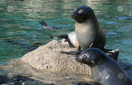 Seals stock photo, Two young seal sitting on a rock. by David Schmidt