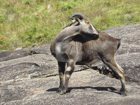 Nikgiri tahr stock photo, A rare and endangered nilgiri tahr the state animal of tamil nadu endemic to the western ghats of south india by Mike Smith