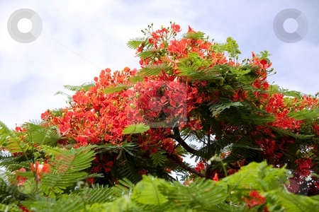 Red flame from Mauritius The Royal Poinciana stock photo, The Royal Poinciana is endemic to Madagascar, where it is found in the Madagascar dry deciduous forests.The flowers are large, with four spreading scarlet or orange-red petals up to 8 cm long, and a fifth upright petal called the standard, which is slightly larger and spotted with yellow and white.  The compound leaves have a feathery appearance and are a characteristic light, bright green. They are doubly pinnate: Each leaf is 30-50 cm long and has 20 to 40 pairs of primary leaflets or pinnae on it, and each of these is further divided into 10-20 pairs of secondary leaflets or pinnules. by Gowtum Bachoo