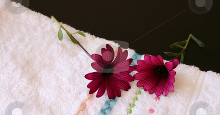 Two maroon daisies stock photo, Two maroon daisies on a white face cloth by Vanessa Van Rensburg