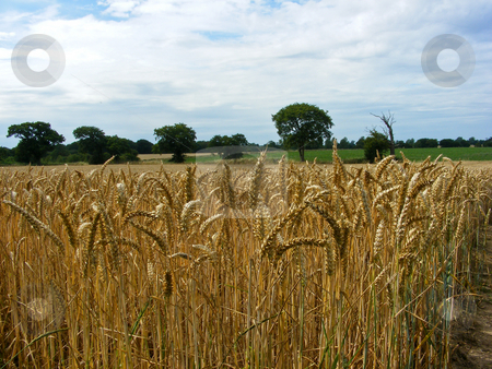 Cornfield 2 stock photo, Cornfield ready for harvest in Autumn viewed up close by Stuart Atton