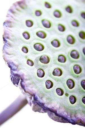 Lotus flower fruit pod stock photo, Close up artistic shot of lotus flower fruit pod seeds by Jodie Johnson
