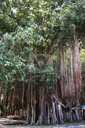 The big banyan tree. stock photo, Big banyan tree plants with hanging aerial roots by Gowtum Bachoo