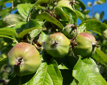 Apple Tree stock photo, Small apples on the apple tree summer by Vadim Pats