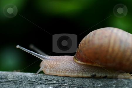 Snail stock photo, Single brown snail walking along very slowly by Henrik Lehnerer