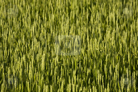 Wheat stock photo, Wheat by David Chapman