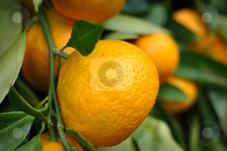 Tangerine hanging from the tree stock photo, Ripe Tangerines hanging from the tree by Brandon Bourdages