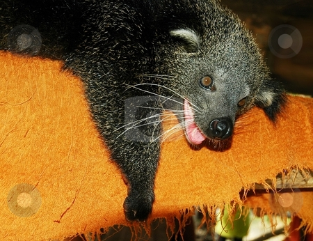Binturong or bear-cat stock photo, Binturong - a viverrid mammal from Southeast Asia in the Bangkok zoo. by Oleg Blazhyievskyi