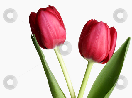 Two Tulips stock photo, Two tulips against white by Leah-Anne Thompson
