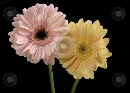 Pastel Pink and Butter Yellow Gerberas stock photo, Pastel pink and butter yellow gerbera contrast a black background. by Leah-Anne Thompson