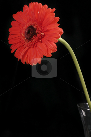 Red Gerbera on Black stock photo, A single red gerbera constrasts a black background by Leah-Anne Thompson
