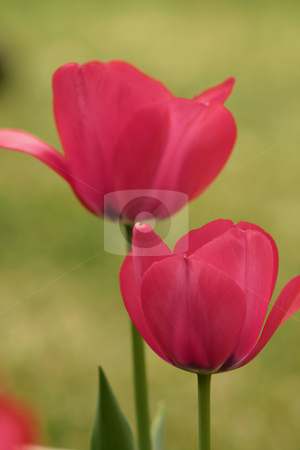 Flowers in a field stock photo, Two blooming tulips in a field. by Leah-Anne Thompson