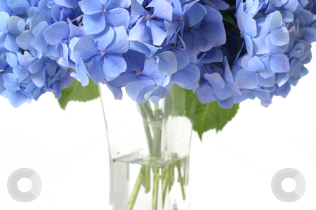 Canopy of Flowers stock photo, A closeup of some Mophead Hydrangeas (Hydrangea macrophylla) in a vase.  Focus on the flowers. by Leah-Anne Thompson