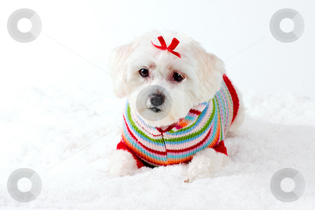 Small White Dog in Winter Scene stock photo, Small white dog in colourful jumper and red bow aying in a winter scene. by Leah-Anne Thompson