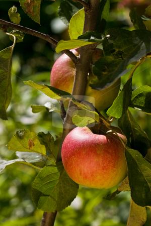 Apple stock photo, Food series: tasty ripe and juicy apple by Gennady Kravetsky