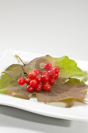 Snowball tree stock photo, Food series: ripe and  red snowball tree berry by Gennady Kravetsky