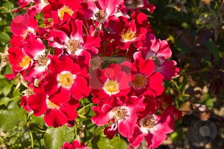 Rose stock photo, Nature series: red tea-rose bloosm in summer season by Gennady Kravetsky