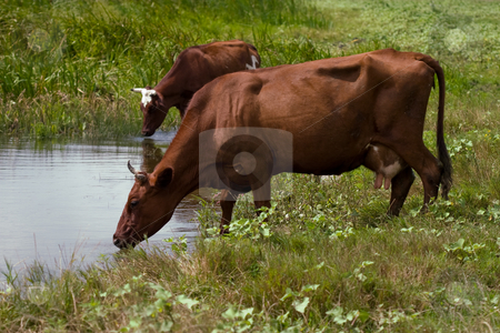 Pond stock photo, Two brown cows on the watering place by Gennady Kravetsky