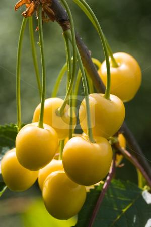 Yellow cherry stock photo, Food series: tasty yellow ripe cherries on tree by Gennady Kravetsky