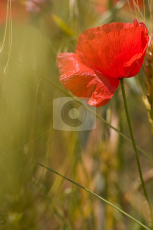 Poppy stock photo, Nature series: macro picture of poppy flowers by Gennady Kravetsky
