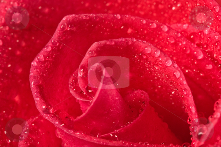 Red rose stock photo, Flower series: close up of red rrose blossom with water drop by Gennady Kravetsky
