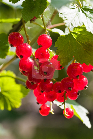 Red currant stock photo, Food series: ripe red currant on the bush by Gennady Kravetsky