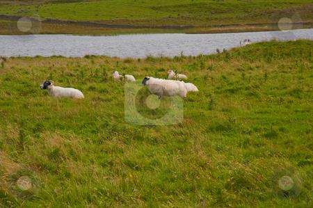 Islay sheep stock photo, Sheep near Eilean Mor Loch Finlaggan by Jaime Pharr