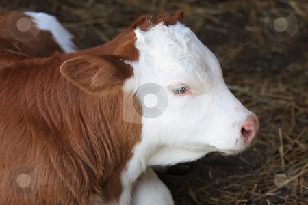 Calf stock photo, Rest is good for a tree days ago birded calf by ARPAD RADOCZY