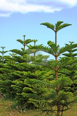 Christmas pine plants stock photo, Pines are coniferous trees in the genus Pinus ] in the family Pinaceae. They make up the monotypic subfamily Pinoideae. There are about 115 species of pine. Pines are evergreen and or resinous trees (rarely shrubs) growing to 3?? by Gowtum Bachoo